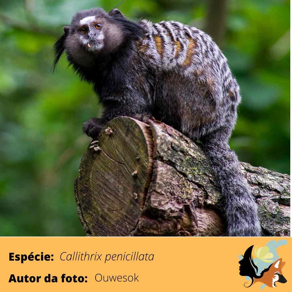 Callithrix penicillata (1)